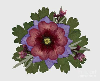 Pressed Flowers Photograph - Red Open Faced Potentilla Pressed Flower Arrangement by Em Witherspoon