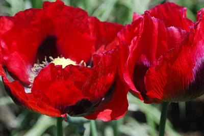 Gardena Photograph - Red Opium Poppies by Cecelia Haack