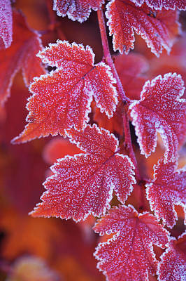 Photograph - Red Orange Frosted Leaves Of Physocarpus by Jenny Rainbow