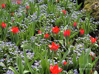 Spring Bulbs Photograph - Red Orange Tulips And Blue Forget Me Nots In Spring by Louise Heusinkveld
