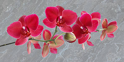 Photograph - Red Orchid Panoramic by Gill Billington