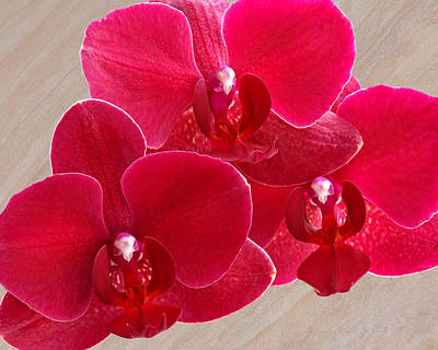 Photograph - Red Orchid Trio by Gill Billington