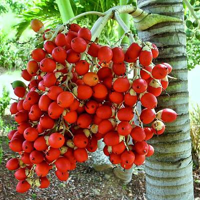 Red Palm Tree Fruit Art Print by Kirsten Giving