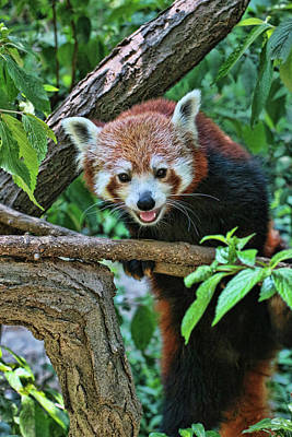 Photograph - Red Panda # 2 by Allen Beatty