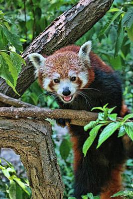 Photograph - Red Panda # 2 by Allen Beatty