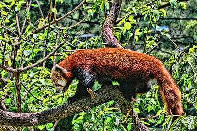 Photograph - Red Panda by Allen Beatty