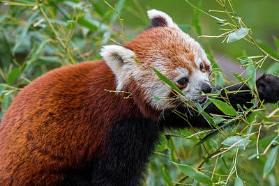 Photograph - Red Panda by Arterra Picture Library