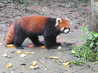 Photograph - Red Panda by Betty-Anne McDonald