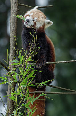 Photograph - Red Panda Bliss by Greg Nyquist