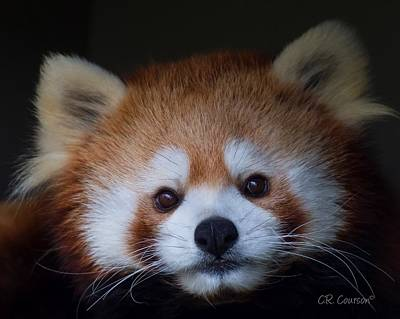 Photograph - Red Panda by CR  Courson
