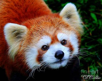 Photograph - Red Panda by Davandra Cribbie