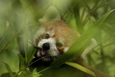 Photograph - Red Panda by David Stanley