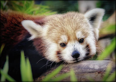 Photograph - Red Panda by Elaine Malott