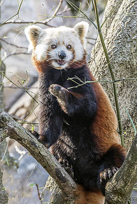 Photograph - Red Panda Full Portrait by William Bitman