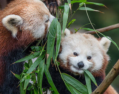 Photograph - Red Panda Gossip by Greg Nyquist