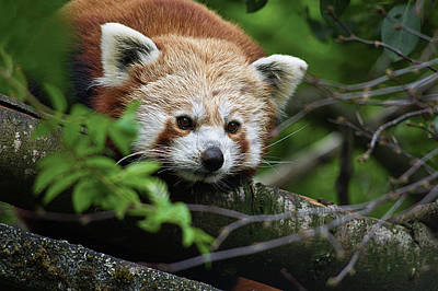 Photograph - Red Panda by Jacqi Elmslie