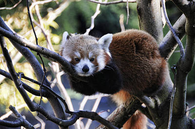 Photograph - Red Panda by Jody Lovejoy