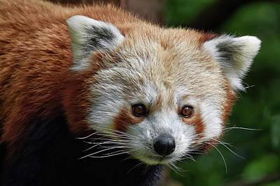 Photograph - Red Panda by Kuni Photography