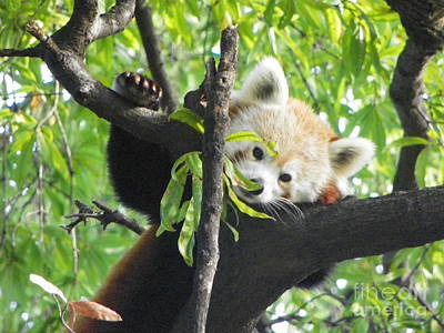 Photograph - Red Panda Memphis by Shirley Moravec