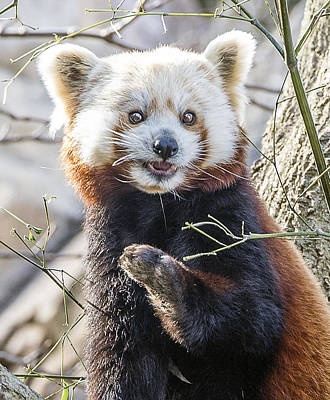 Photograph - Red Panda Portrait Headshot by William Bitman