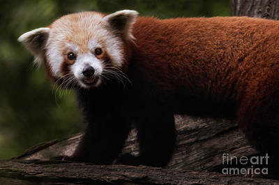 Photograph - Red Panda Portrait by Sonya Lang