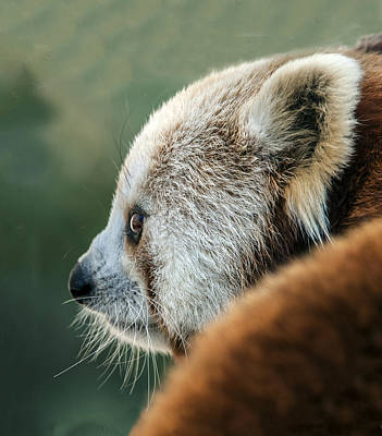 Photograph - Red Panda Profile by William Bitman