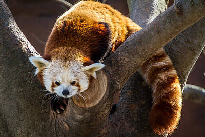 Photograph - Red Panda by Ron Pate