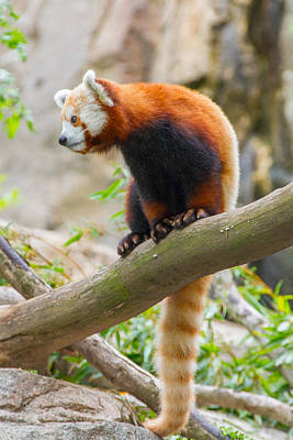 Photograph - Red Panda by SR Green