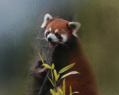 Photograph - Red Panda by TnBackroadsPhotos