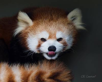 Photograph - Red Panda Tongue Out by CR Courson