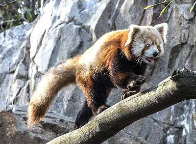 Photograph - Red Panda Walking On Branch Portrait by William Bitman
