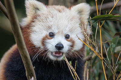 Photograph - Red Panda Wonder by Greg Nyquist