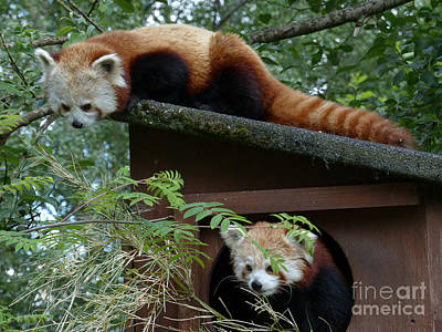 Photograph - Red Panda's  by Phil Banks