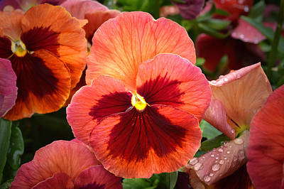 Photograph - Red Pansy. by Terence Davis
