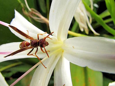 Photograph - Red Paper Wasp And Spider Lily by Chris Mercer