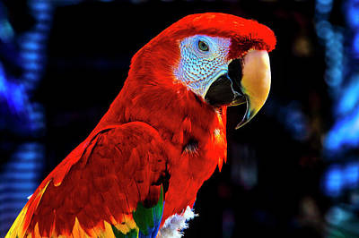 Photograph - Red Parrot Portrait  by Garry Gay