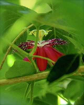 Photograph - Red Passion Flower by Carol Bradley
