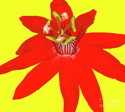Red Passion Flower Art Print by Edita De Lima