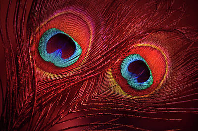 Photograph - Red Peacock Feathers by Jenny Rainbow