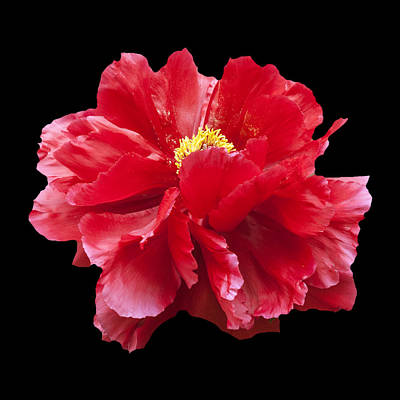 Photograph - Red Peony by Charles Harden