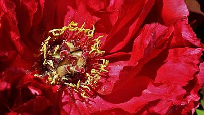 Photograph - Red Peony In The Spring. by Bruce Bley