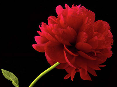 Photograph - Red Peony  by Jean Noren