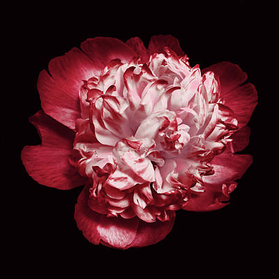 Photograph - Red Peony On Black by Denise Beverly