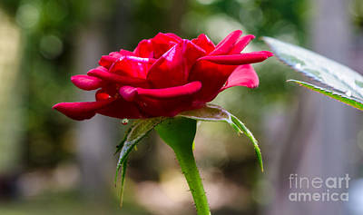 Photograph - Red Rose by Donna Brown