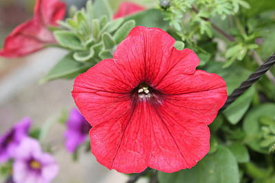 Photograph - Red Petunia by Donna L Munro