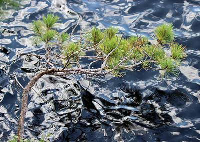 Photograph - Red Pine by David Pickett