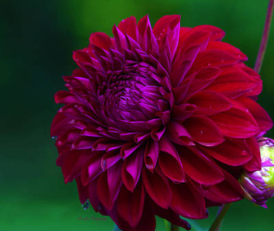 Photograph - Red Plate Size Dahlia by Jeanette C Landstrom