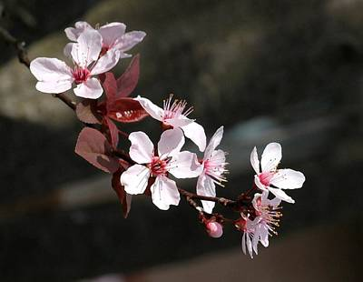 Photograph - Red Plum Blossoms by Carolyn Jacob
