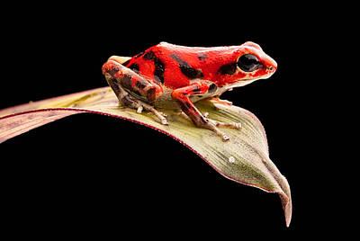 Frogs Photograph - red poison dart frog Oophaga pumilio by Dirk Ercken