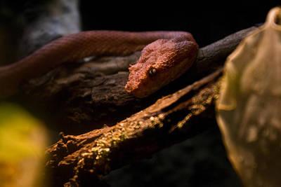 Photograph - Red Poisonous Snake by Douglas Barnett